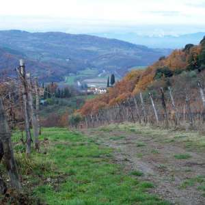 Vineyard nearby Dicomano