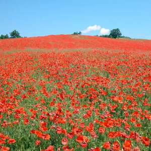 Poppies near Cornacchiaia